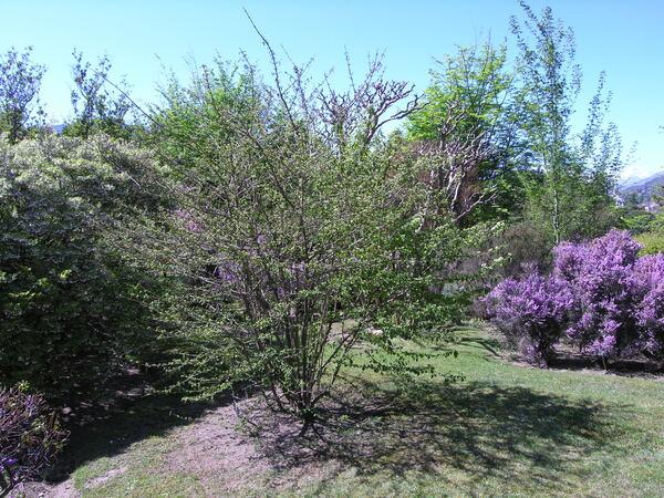 Viburnum plicatum Thunb.
