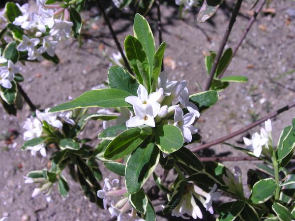 Daphne x burwoodi Turrilli 'Astrid'
