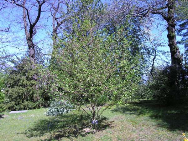 Prunus subhirtella Miq. 'Rosea'