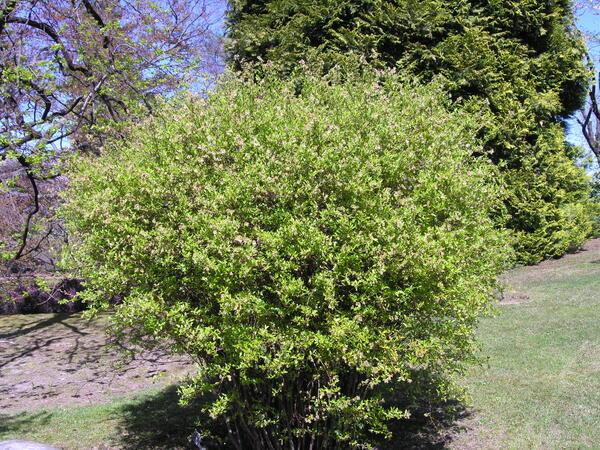 Vaccinium corymbosum L. 'Amoenum'