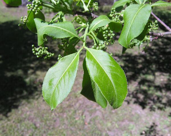 Euonymus hamiltonianus Wall. var. yedoensis (Koehne) Blakelock