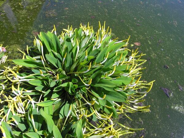 Orontium aquaticum L.