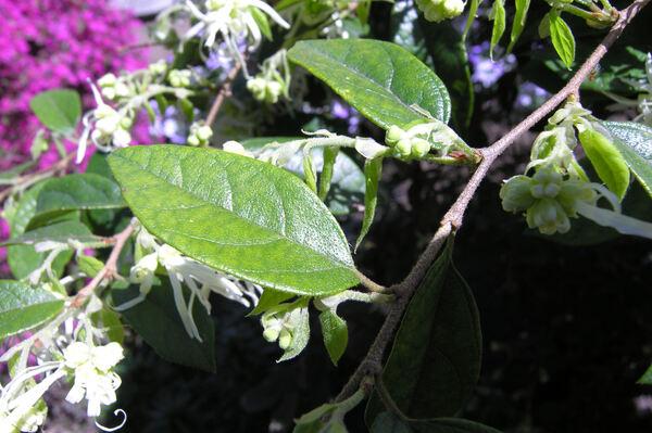 Loropetalum chinense (R. Br.) Oliv. var. chinense