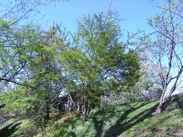 Photinia villosa (Thunb.) DC.