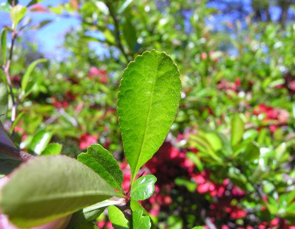 Chaenomeles speciosa (Sweet) Nakai 'Benichidori'