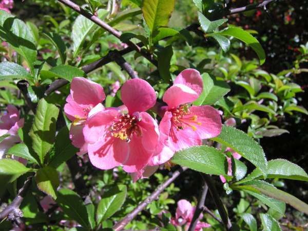 Chaenomeles speciosa (Sweet) Nakai 'Phyllis Moore'