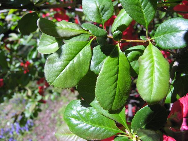 Chaenomeles speciosa (Sweet) Nakai 'Hanazand'