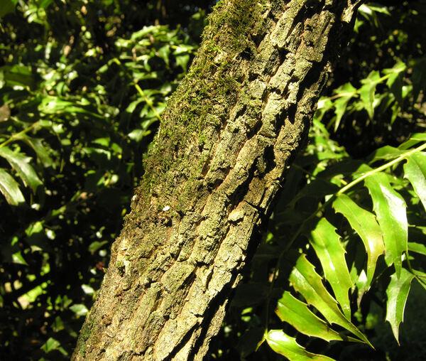 Mahonia lomariifolia Takeda