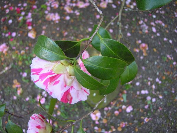 Camellia japonica L. 'Variegata'