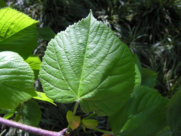 Tilia paucicostata Maxim.