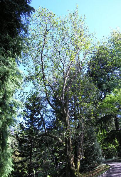 Magnolia campbellii Hook. f. & Thomson