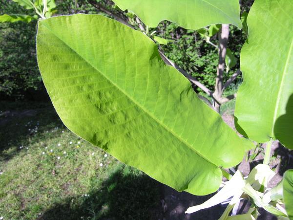 Magnolia macrophylla Michx. var. ashei (Weatherby) D. L. Johnson