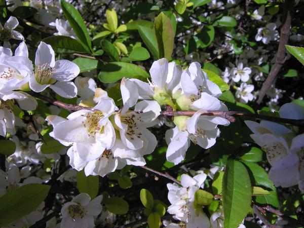 Chaenomeles japonica (Thunb.) Lindl. ex Spach 'Alba'