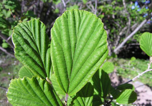 Hamamelis japonica Siebold & Zucc. 'Zuccariniana'