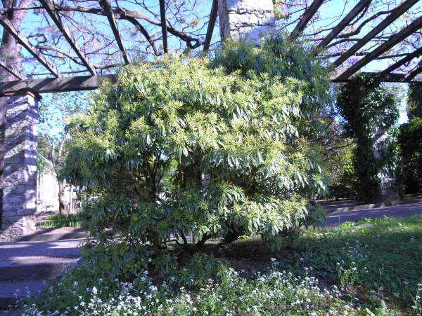 Pieris japonica (Thunb.) D.Don 'Variegata'