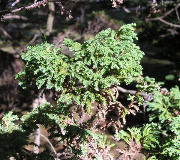 Chamaecyparis pisifera (Siebold & Zucc.) Endl. 'Plumosa argentea'