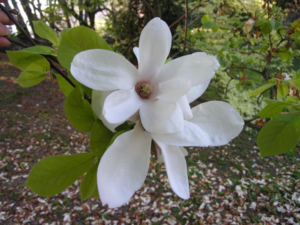Magnolia x soulangeana Soul.-Bod. 'Norberti'