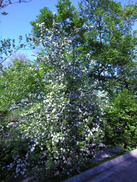 Malus brevipes Rehder 'Butterball'
