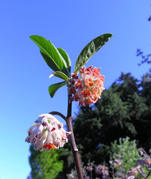 Edgeworthia chrysantha Lindl. 'Mitsumata'