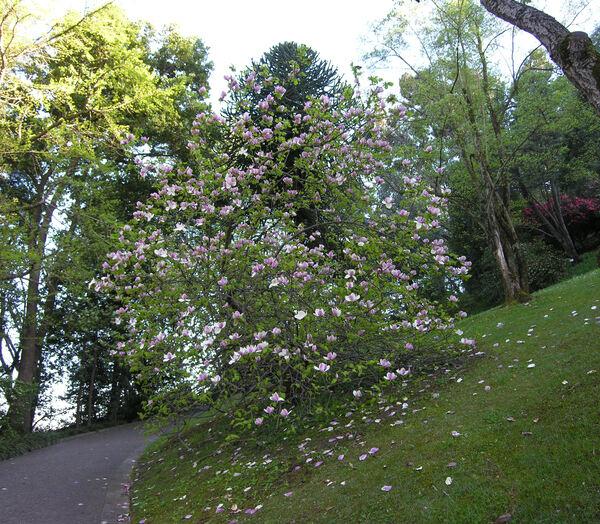 Magnolia x soulangeana Soul.-Bod. 'Lennei'