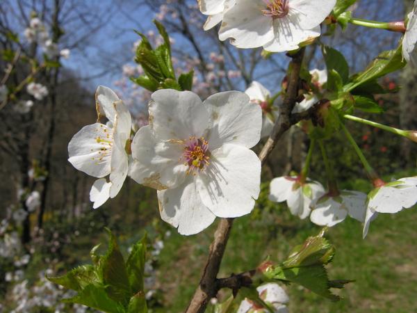 Prunus serrulata Lindl. 'Snow Goose'