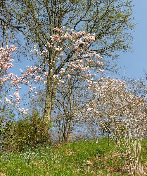 Magnolia x soulangeana Soul.-Bod. 'Brozzoni'