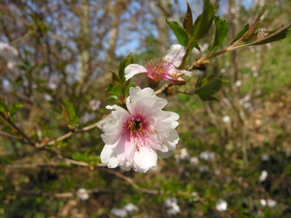 Prunus incisa Thunb. 'February Pink'