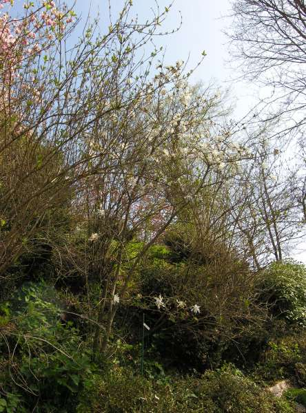 Magnolia stellata (Siebold & Zucc.) Maxim. 'Water Lily'