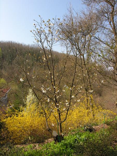 Prunus serrulata Lindl. 'Tai-Haku'