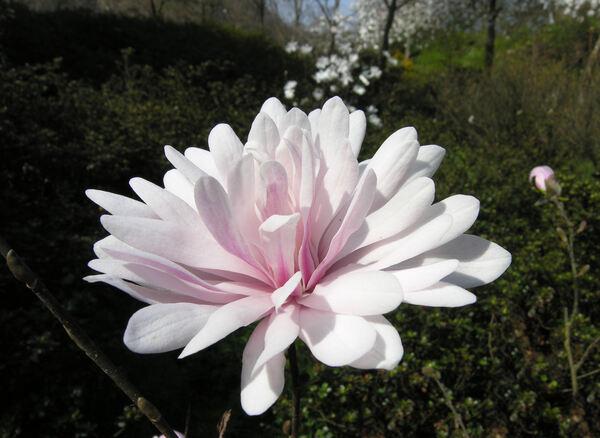 Magnolia stellata (Siebold & Zucc.) Maxim. 'Pink Perfection'