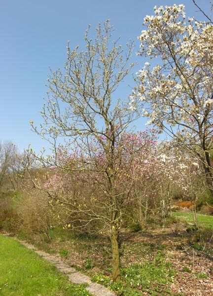 Magnolia acuminata (L.) L. 'Yellow Bird'