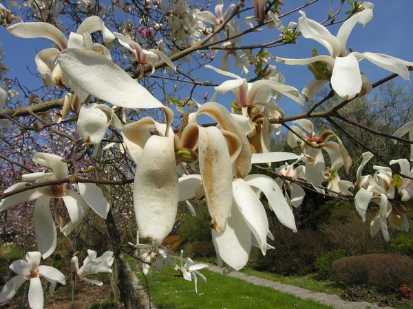Magnolia stellata (Siebold & Zucc.) Maxim. 'White Stardust'