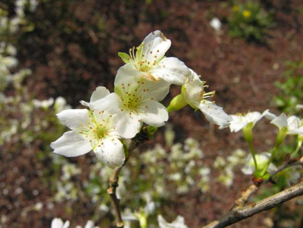 Prunus incisa Thunb. 'Yamadei'