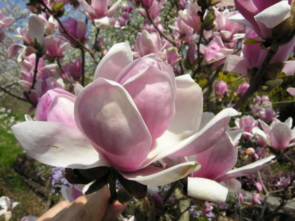 Magnolia 'Satisfaction'