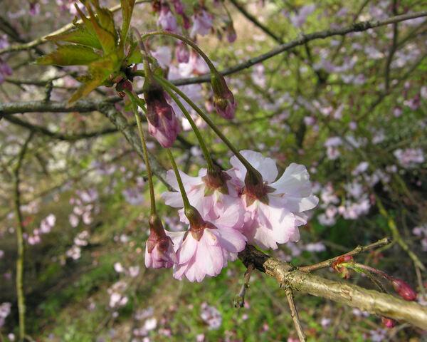 Prunus incisa Thunb. 'Oshidori'