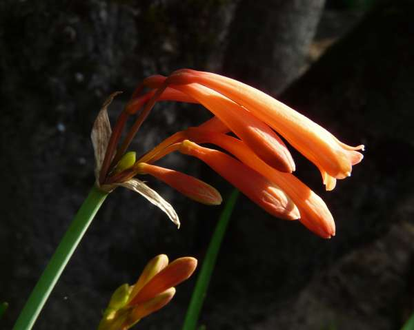 Cyrtanthus mackenii Hook.f.