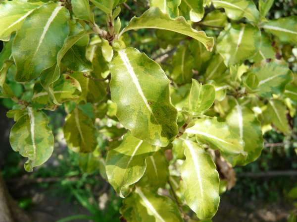 Pittosporum tenuifolium Banks & Soland. ex Gaertn. 'Abbotsbury Gold'