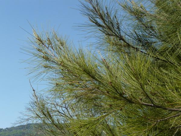 Casuarina equisetifolia L.