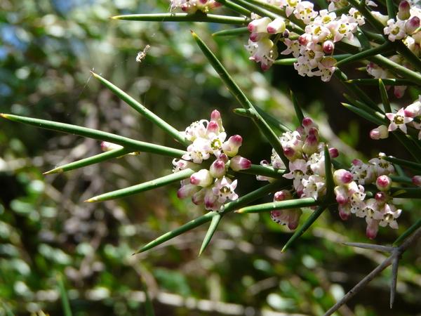 Discaria serratifolia (Vent.) Bert. & Hook. ex Masters