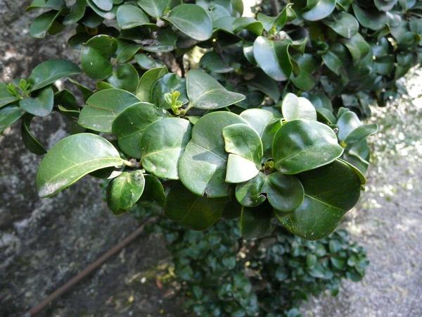 Ligustrum compactum (Wallich ex G. Don) J. D. Hooker & Thomson ex Brandis
