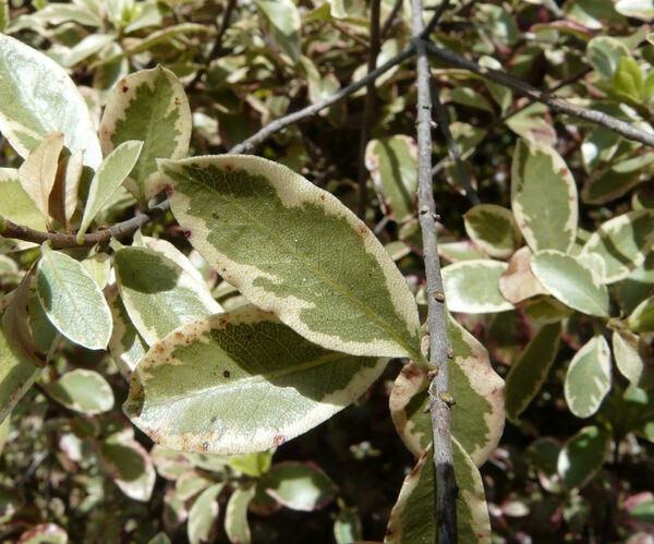 Pittosporum tenuifolium Banks & Soland. ex Gaertn. 'x Deborah'