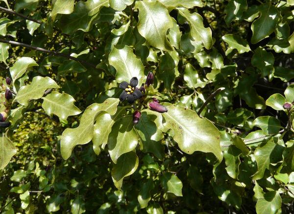 Pittosporum tenuifolium Banks & Soland. ex Gaertn.