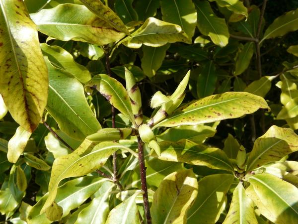 Pittosporum eugenioides A. Cunn.