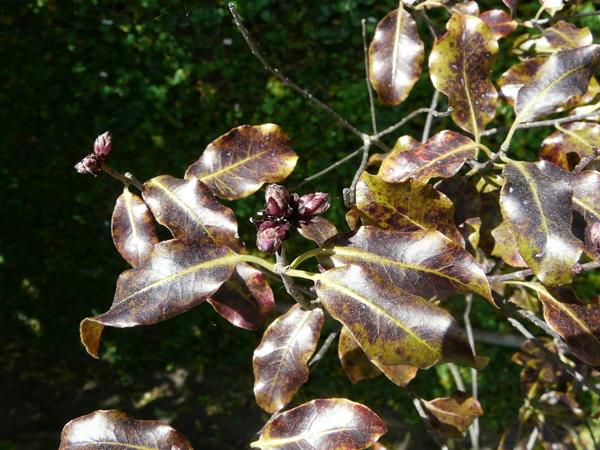 Pittosporum tenuifolium Banks & Soland. ex Gaertn. 'x Purpureum'