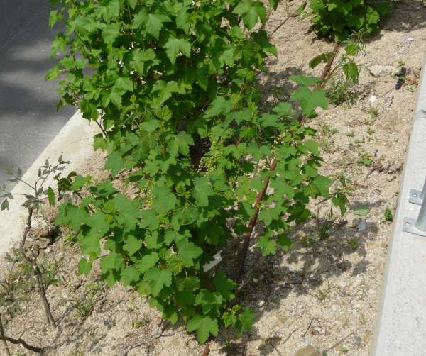Ribes rubrum L. 'White'