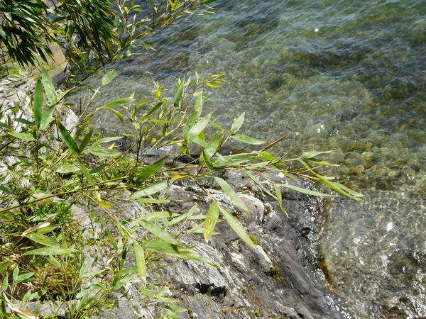 Phyllostachys mitis Rivière & C. Rivière