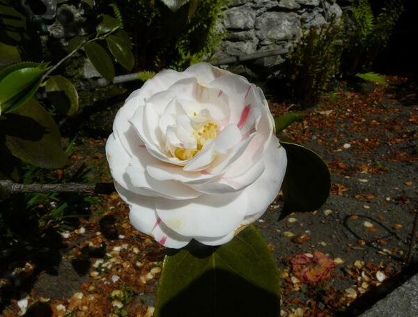 Camellia japonica L. 'Eleonora Franchetti'