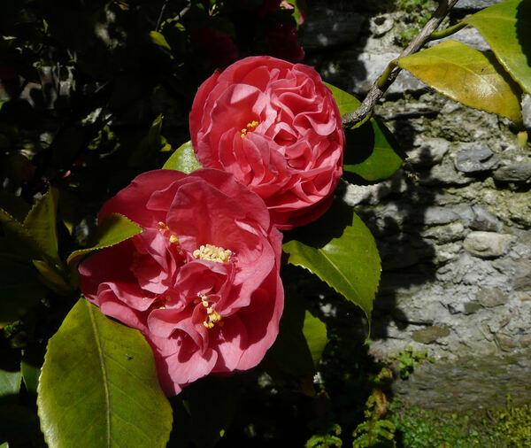Camellia japonica L. 'Tomorrow'