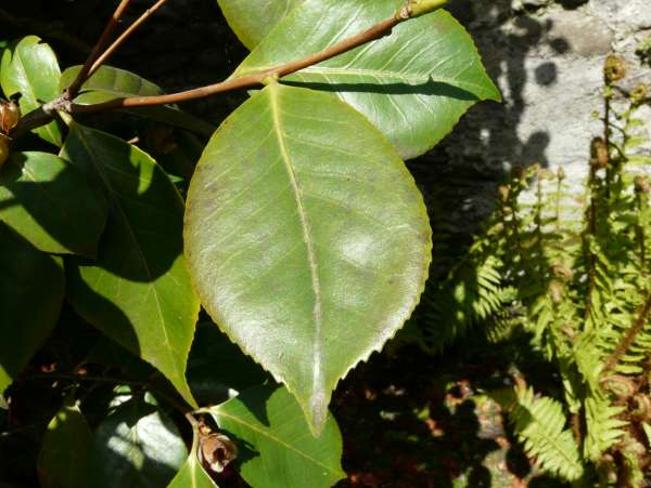 Camellia japonica L. 'Imperator'