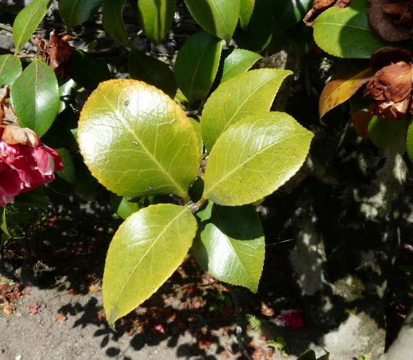 Camellia japonica L. 'Derbiana'